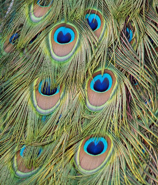 Påfågelfjädrar får sin färgprakt pga interferens av ljus